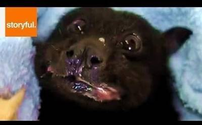 News video: Rescued Fruit Bat's Happiness Returns With a Banana